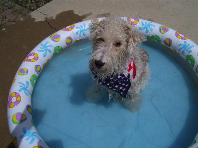 """Photo Title: """"Pool Baby"""" Photo Credit: Michael Houbrick © 2012. All rights reserved. Dog Breed: Wire Hair Fox Terrier Dog Age: 10 years Old"""